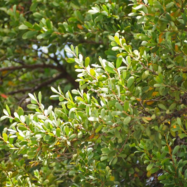 Tea Tree Bush